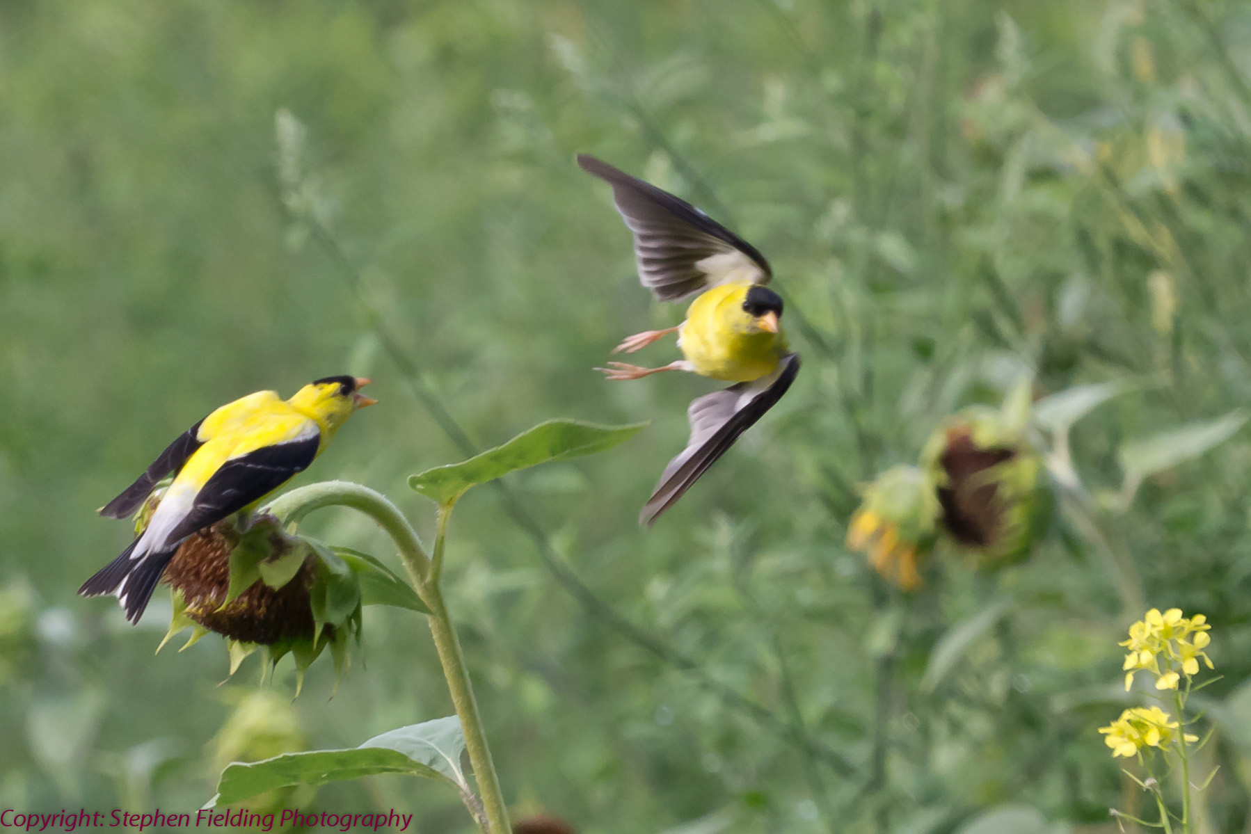 Competition in the sunflower field