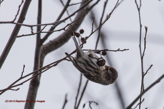 Upside down Redpoll