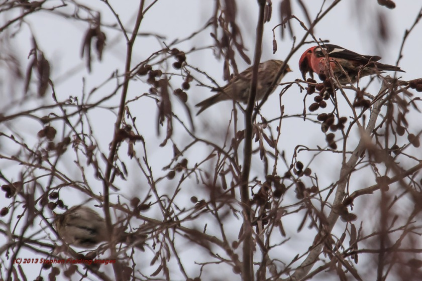 Red Crossbill with Pine Siskin