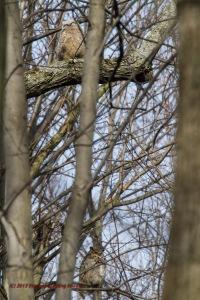 Great Horned Owl & Juvenile