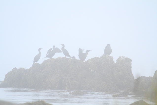 Cormorants in a fog (through the 400mm super-telephoto)