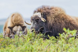 Musk Ox on the Tundra