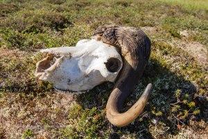 Muskox Skull