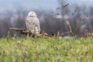 Juvenile Snowy Owl